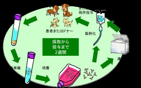 脂肪幹細胞培養の流れ