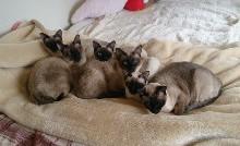 可愛いシャム猫一家