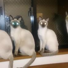 可愛いシャム猫一家(2)